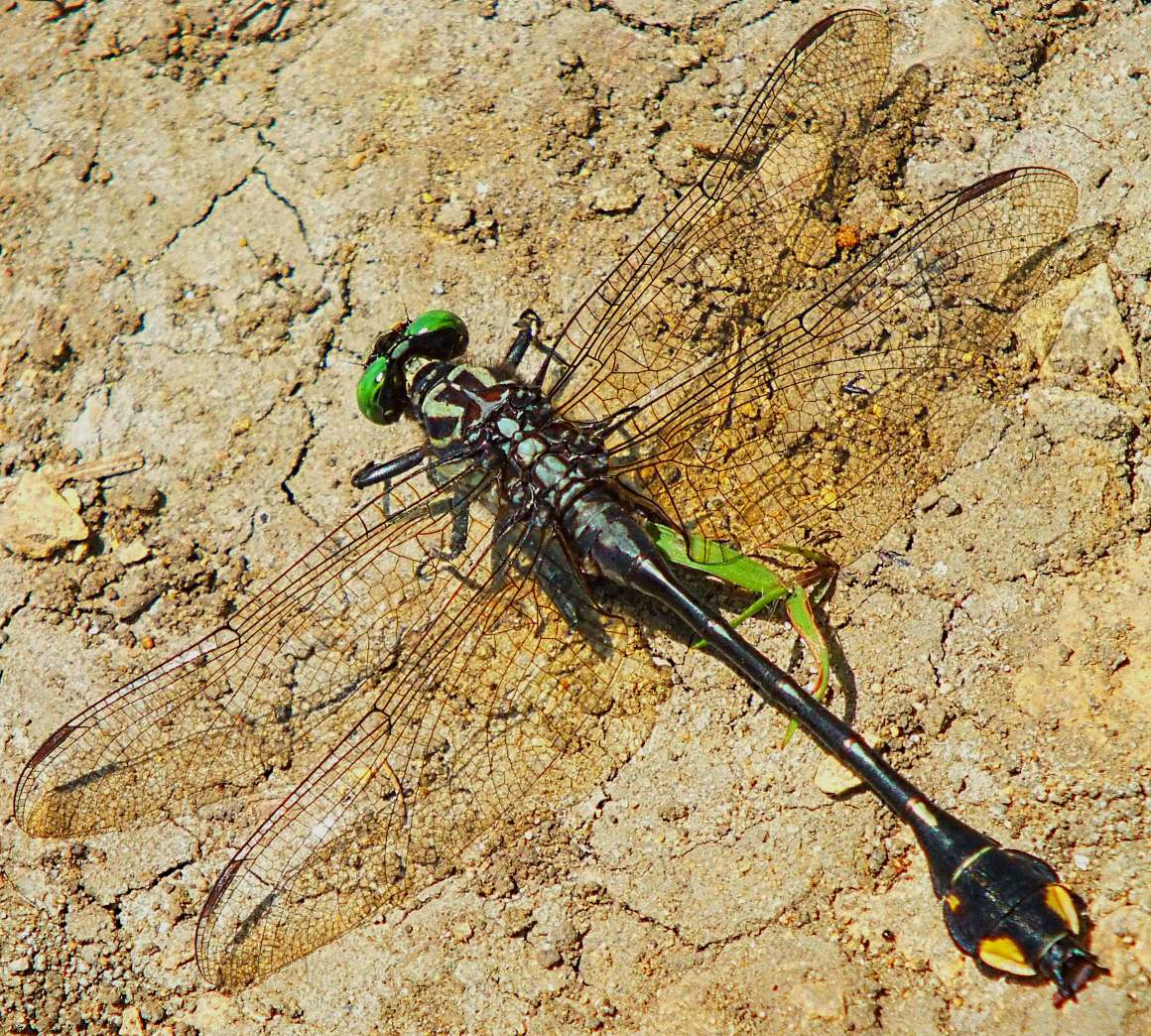 Sanddragon Dragonfly cooling off.  Photo by Thomas Peace 2014