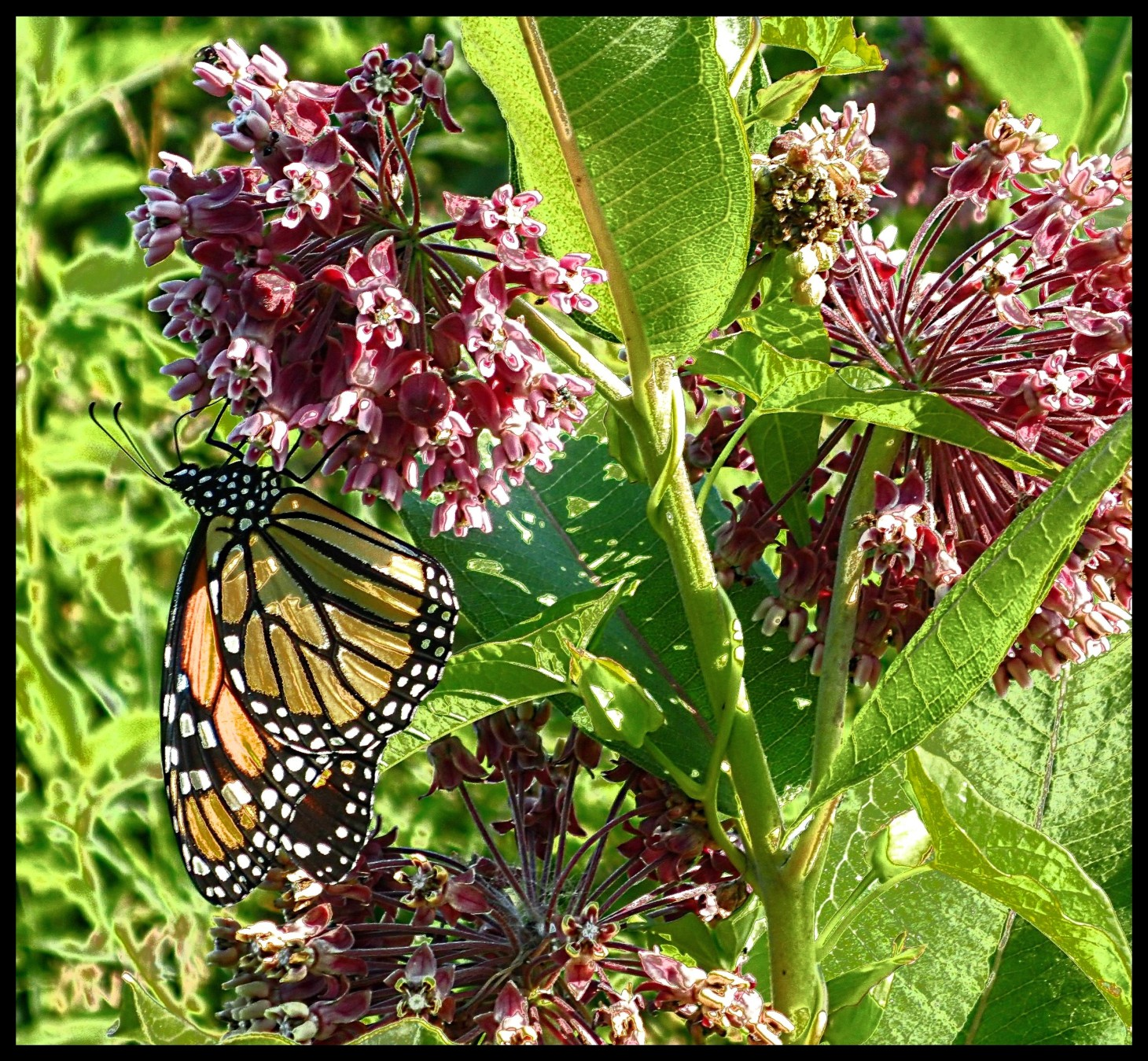 One of the Milkweed's best customers.  Photo by Thomas Peace 2015