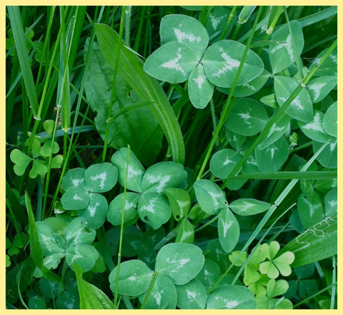 Be a 4-leaf clover (1). Photo by Thomas Peace c. 2015