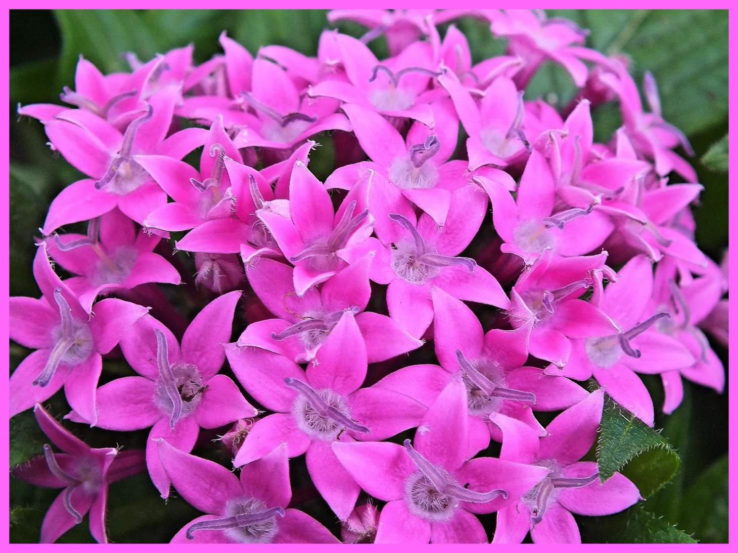 Plush Pink. Photo by Thomas Peace c. 2015