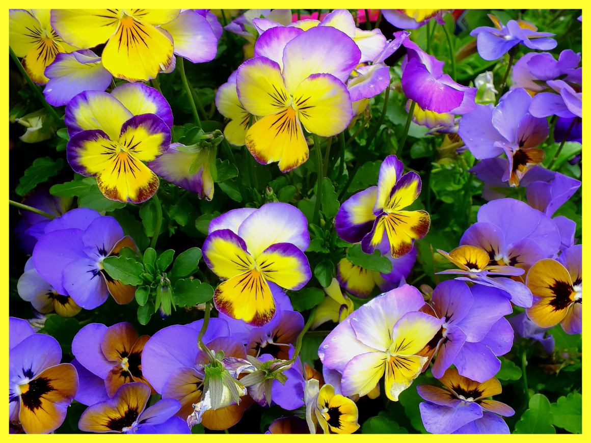 Viola Flowers.  Photo by Thomas Peace c. 2015