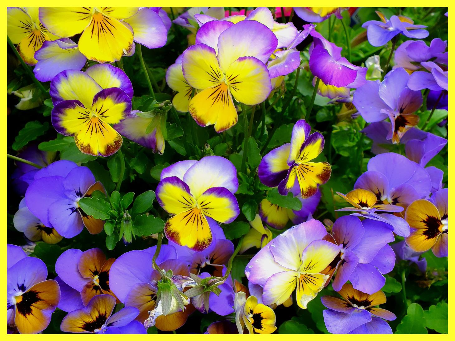 Viola Flowers.  Photo by Thomas Peace c. 2015