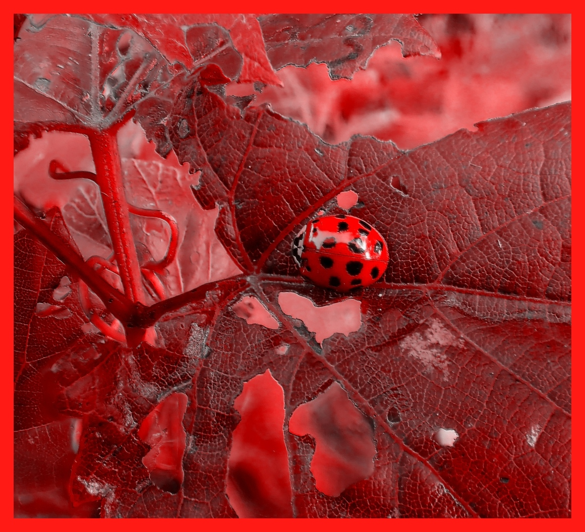 Lady(bug) in Red. Photo by Thomas Peace c. 2015