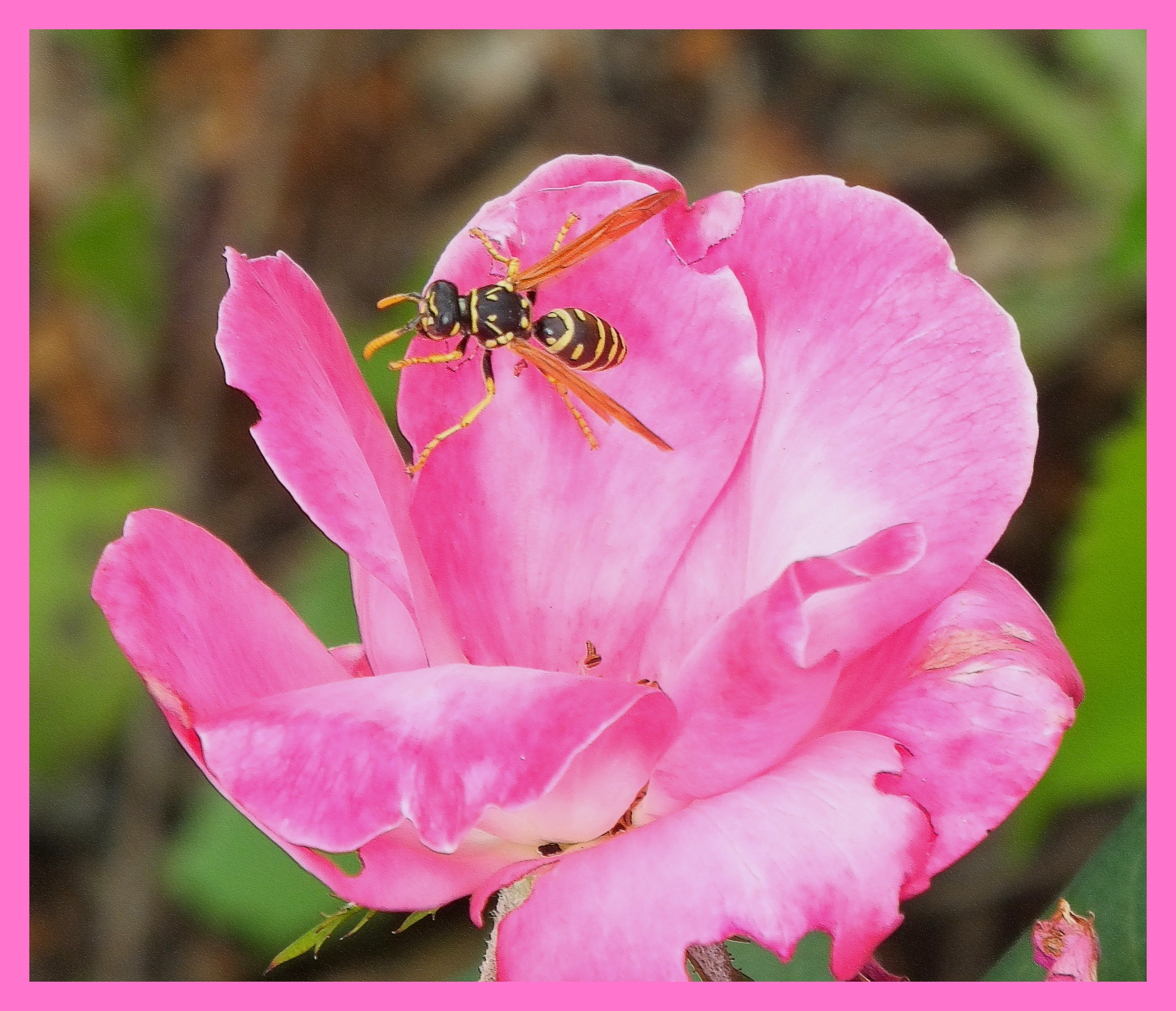 Wasp in Flower. (1) Photo by Thomas Peace c. 2015