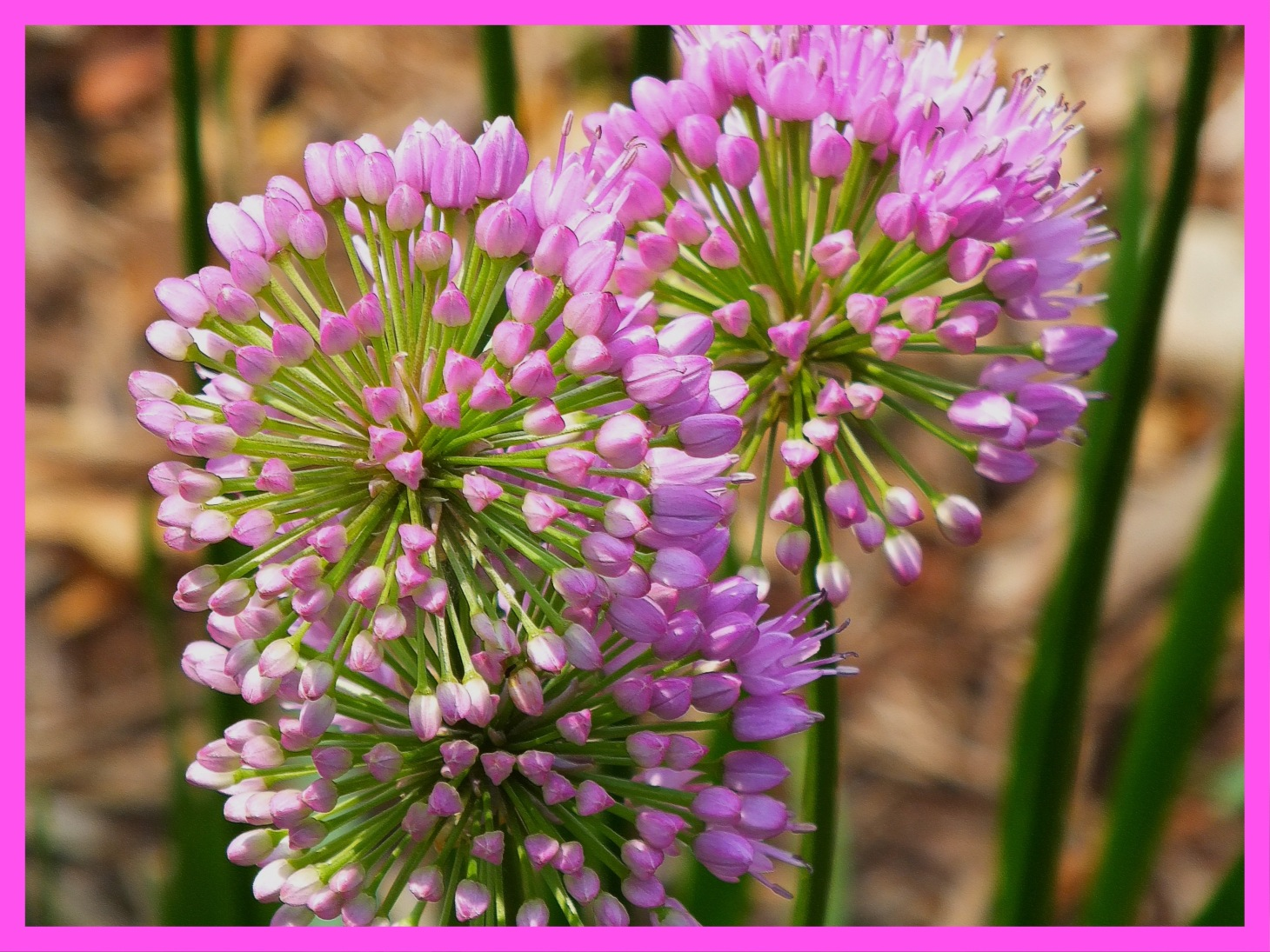 Chives, together as one. (1) Photo by Thomas Peace c. 2015
