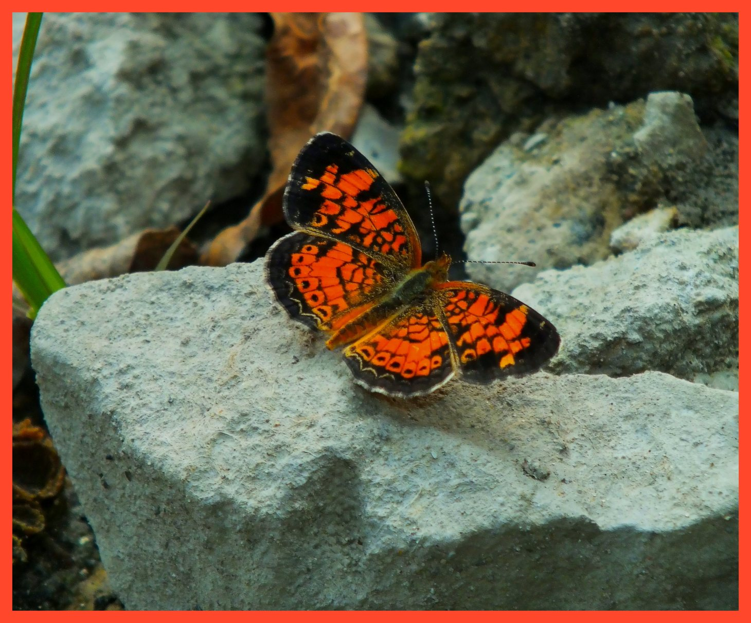 Pearl Crescent Butterfly. (1) Photo by Thomas Peace c. 2015