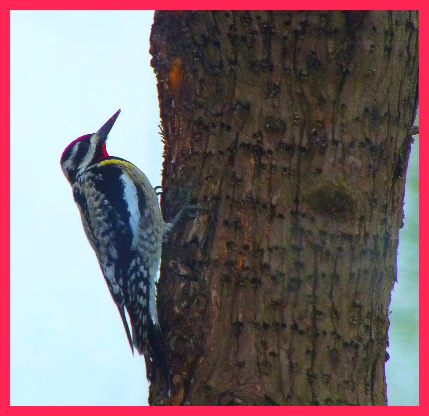 Male Yellow-bellied Sapsucker. Photo by Thomas Peace c. 2015