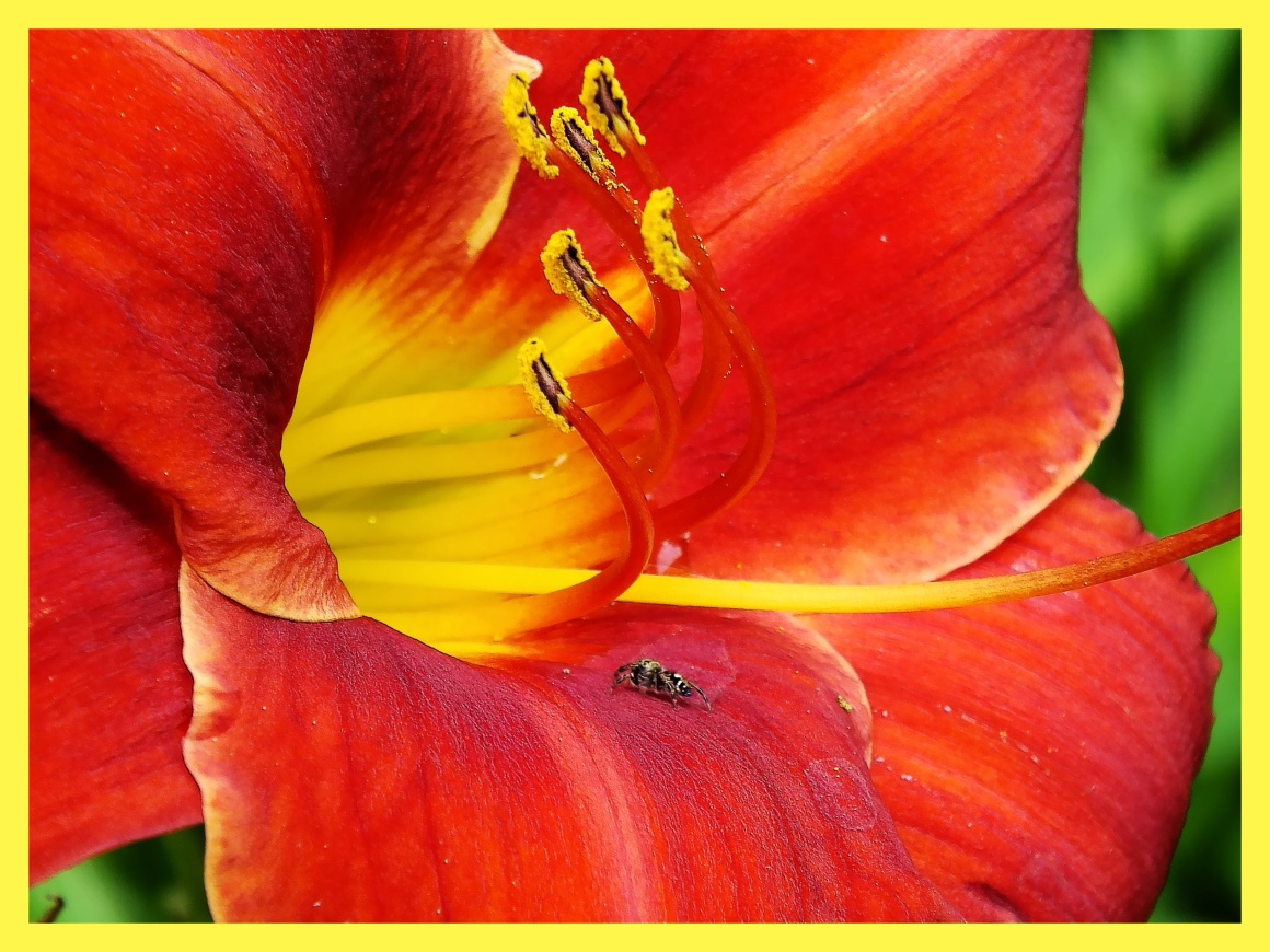 Jumping spider in Lily. (1) Photo by Thomas Peace c. 2015