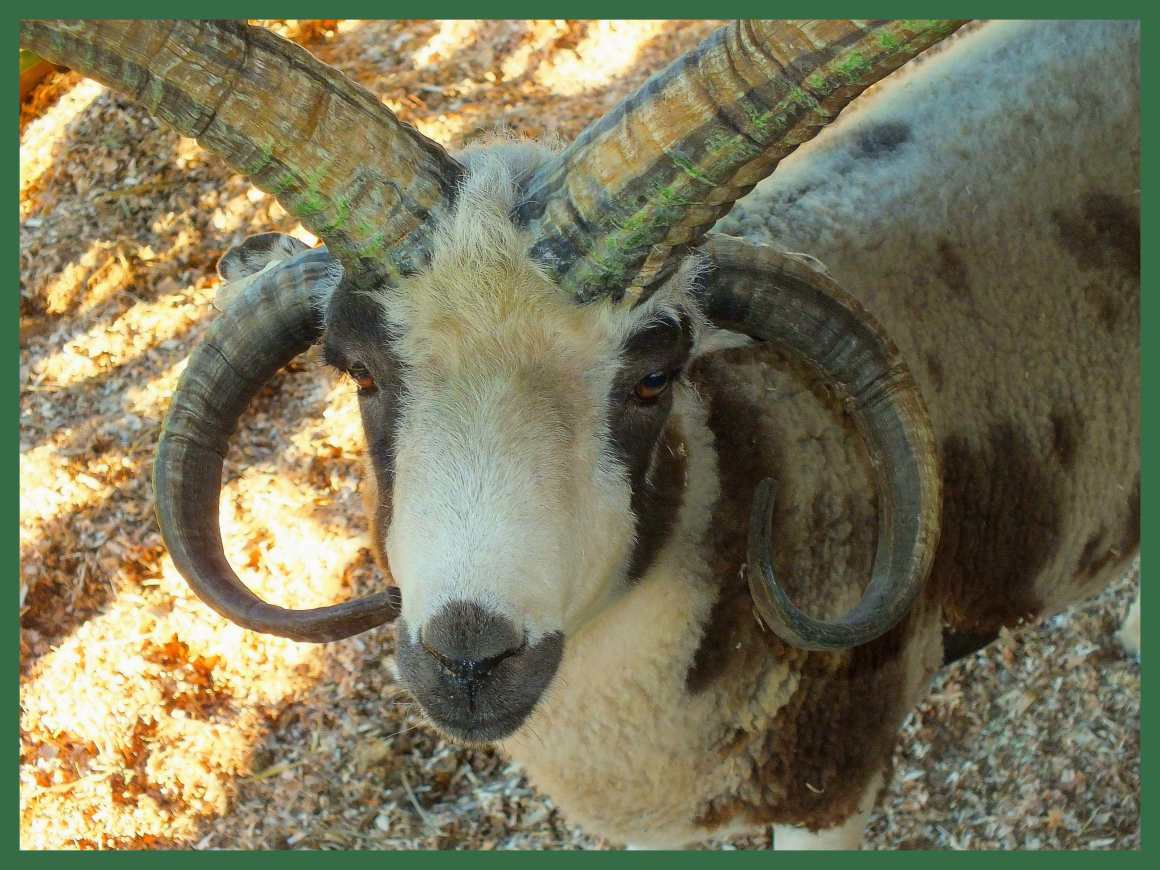 Four Horned Jacob. (1) Photo by Thomas Peace c. 2015