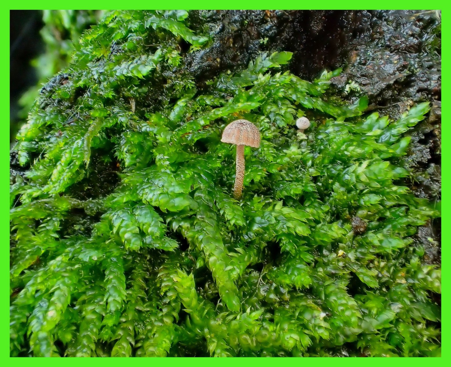 Micro-mushrooms in Moss. (1) Photo by Thomas Peace c. 2015