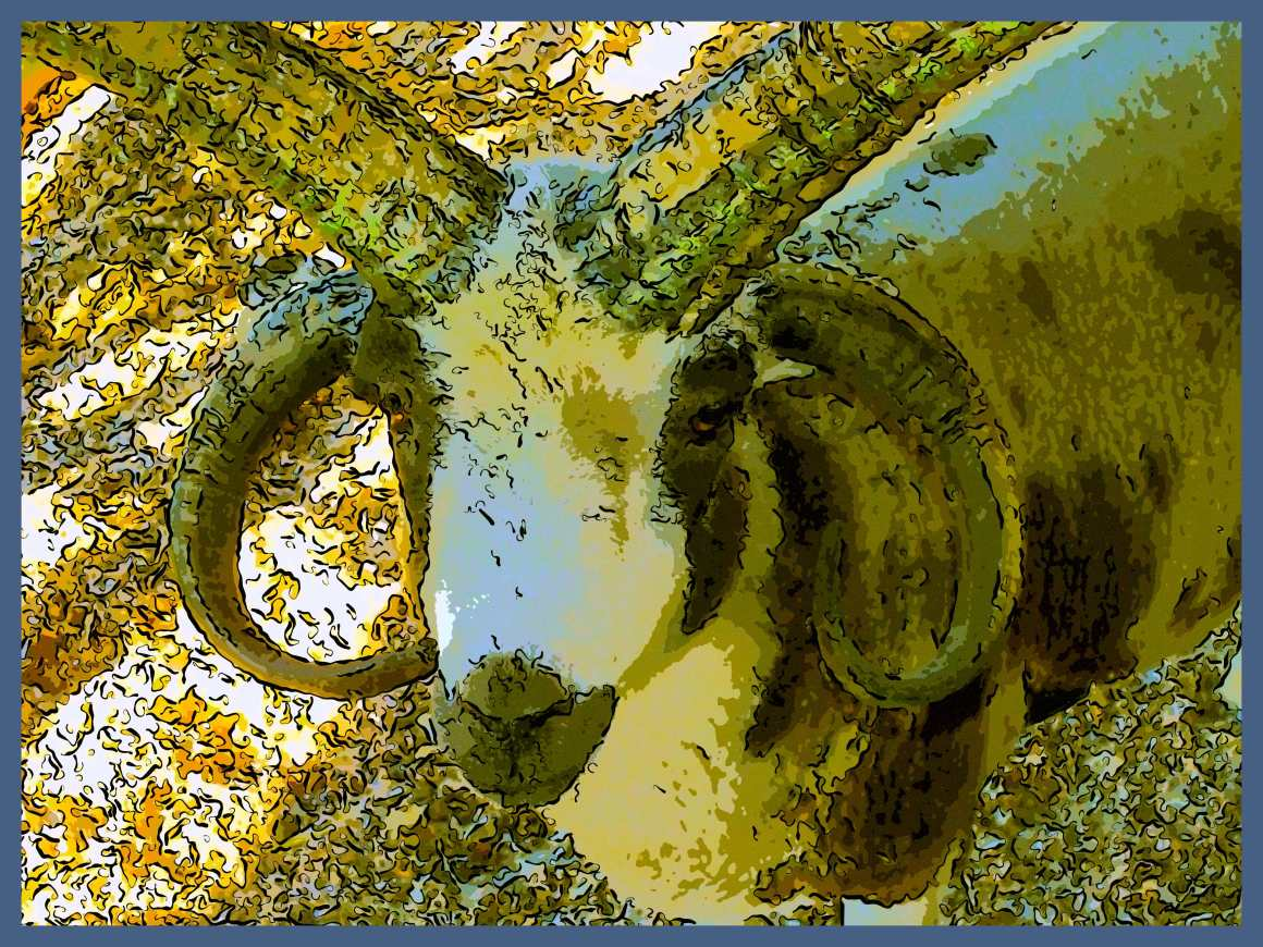 Four Horned Jacob. (2) Photo by Thomas Peace c. 2015