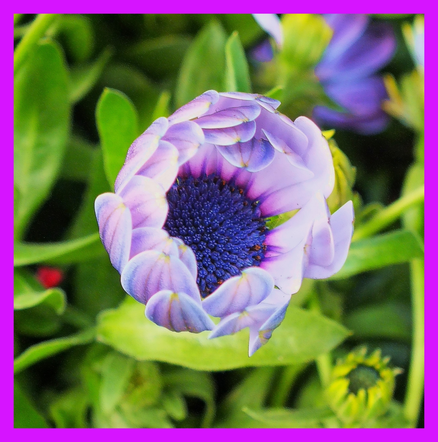 African Daisy, opening.  (1) Photo by Thomas Peace c. 2015