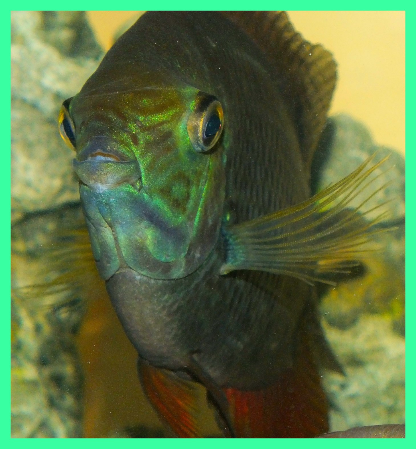 Turquoise Severum. (1)  Photo by Thomas Peace c. 2015