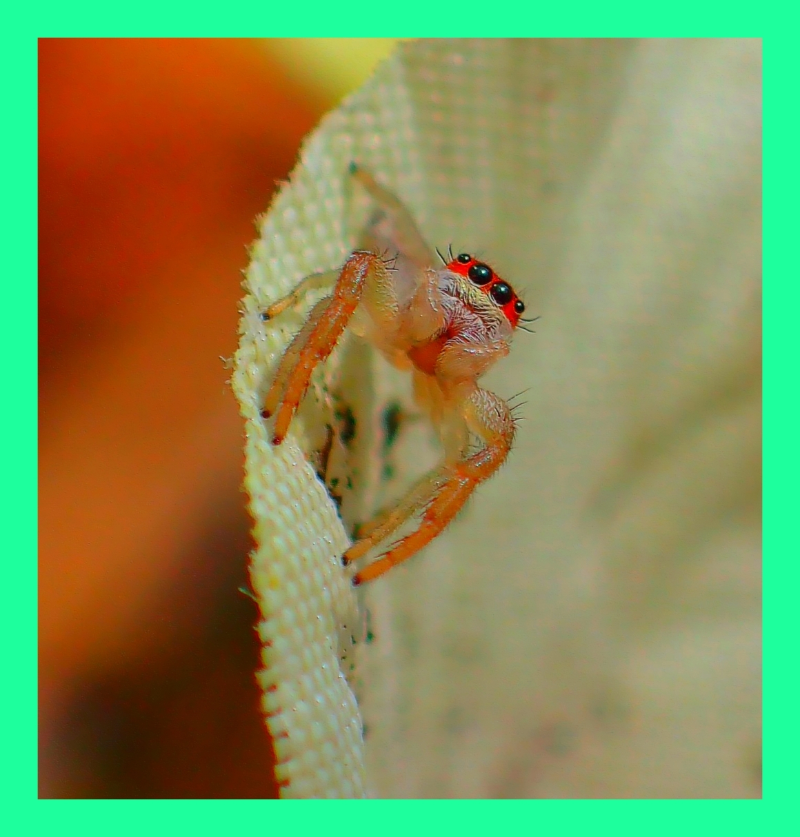 Tiny Jumping Spider. (1) Photo by Thomas Peace c. 2015