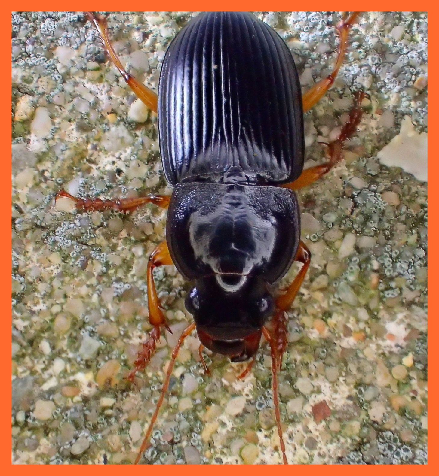 An average Cemetery Beetle  (1). Photo by Thomas Peace c. 2015