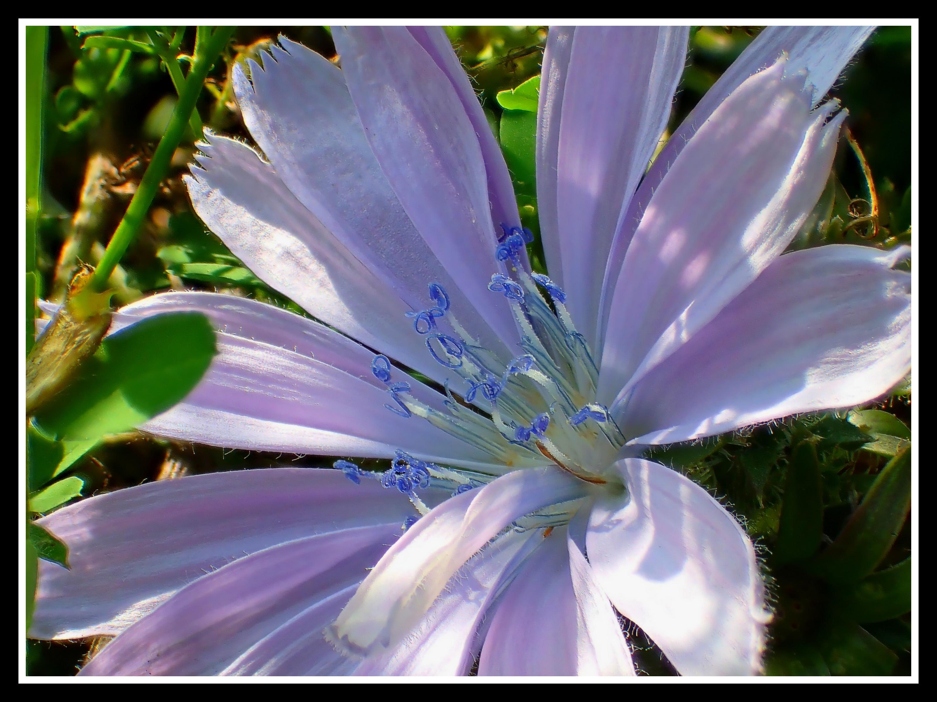 Wild Chicory. Photo by Thomas Peace c. 2015