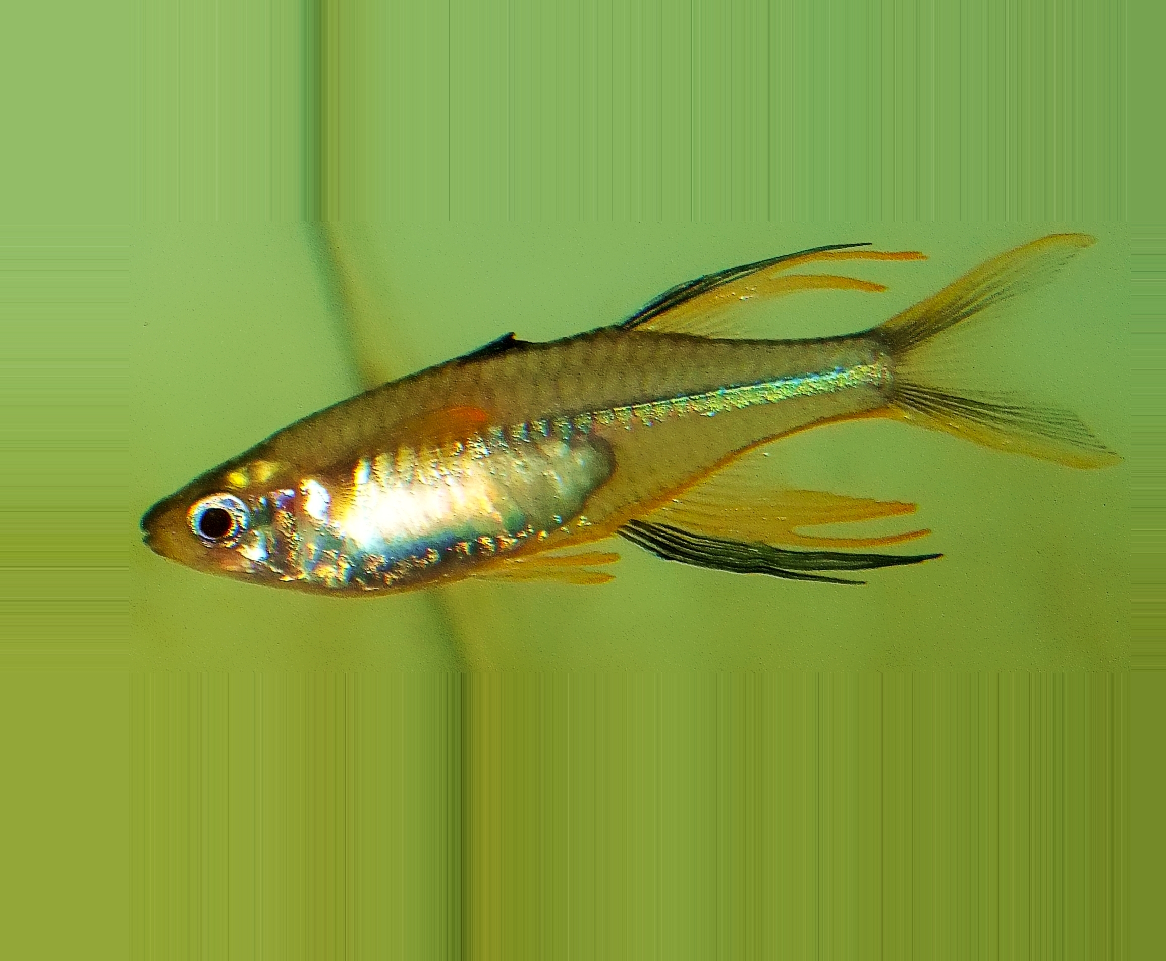 A male Celebes Rainbowfish in a large, freshwater aquarium; this fish has continued to live for a very long time. Photo by Thomas Peace c. 2015
