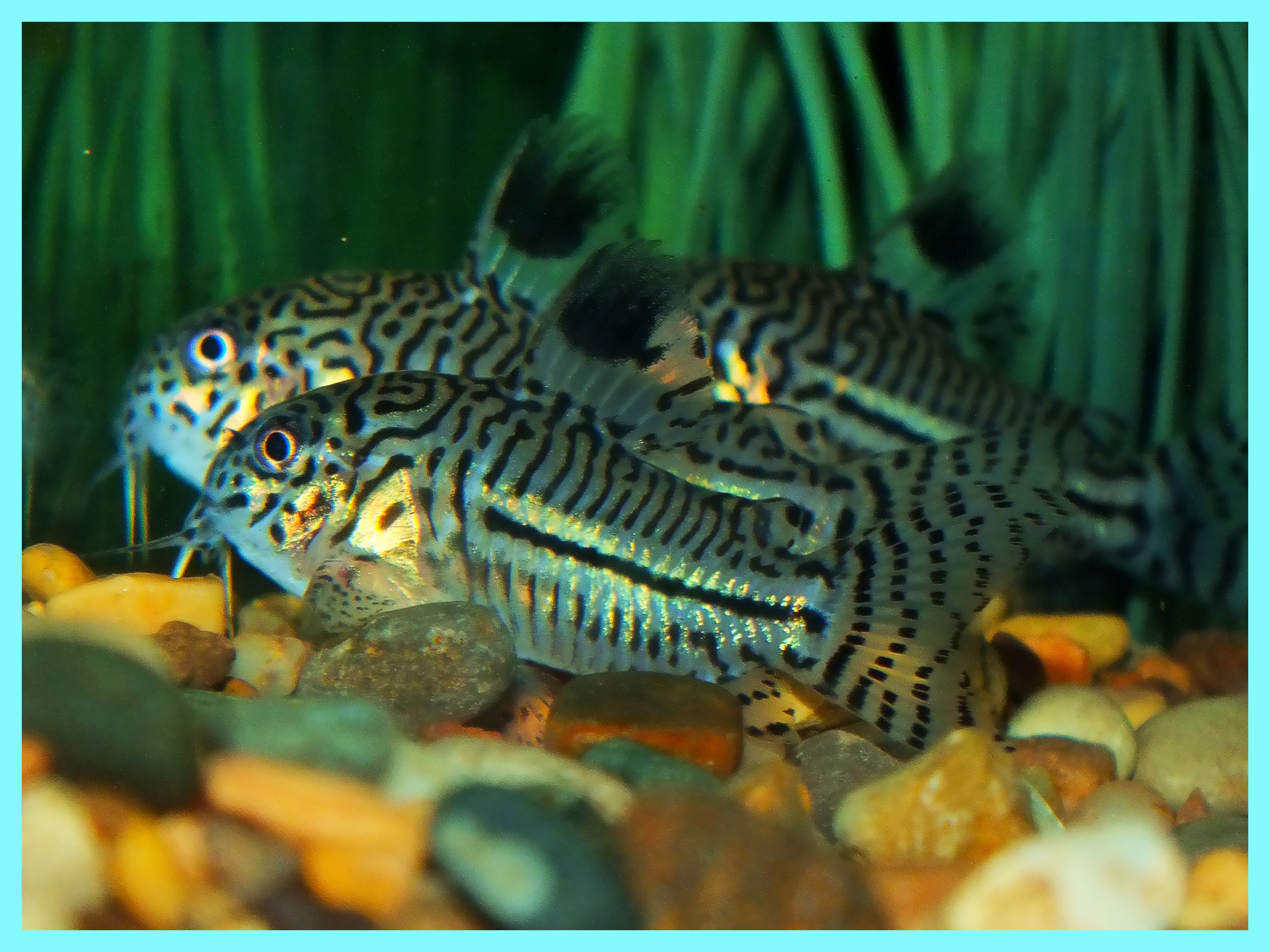 Trio of Corydoras trilineatus. Photo by Thomas Peace c. 2015