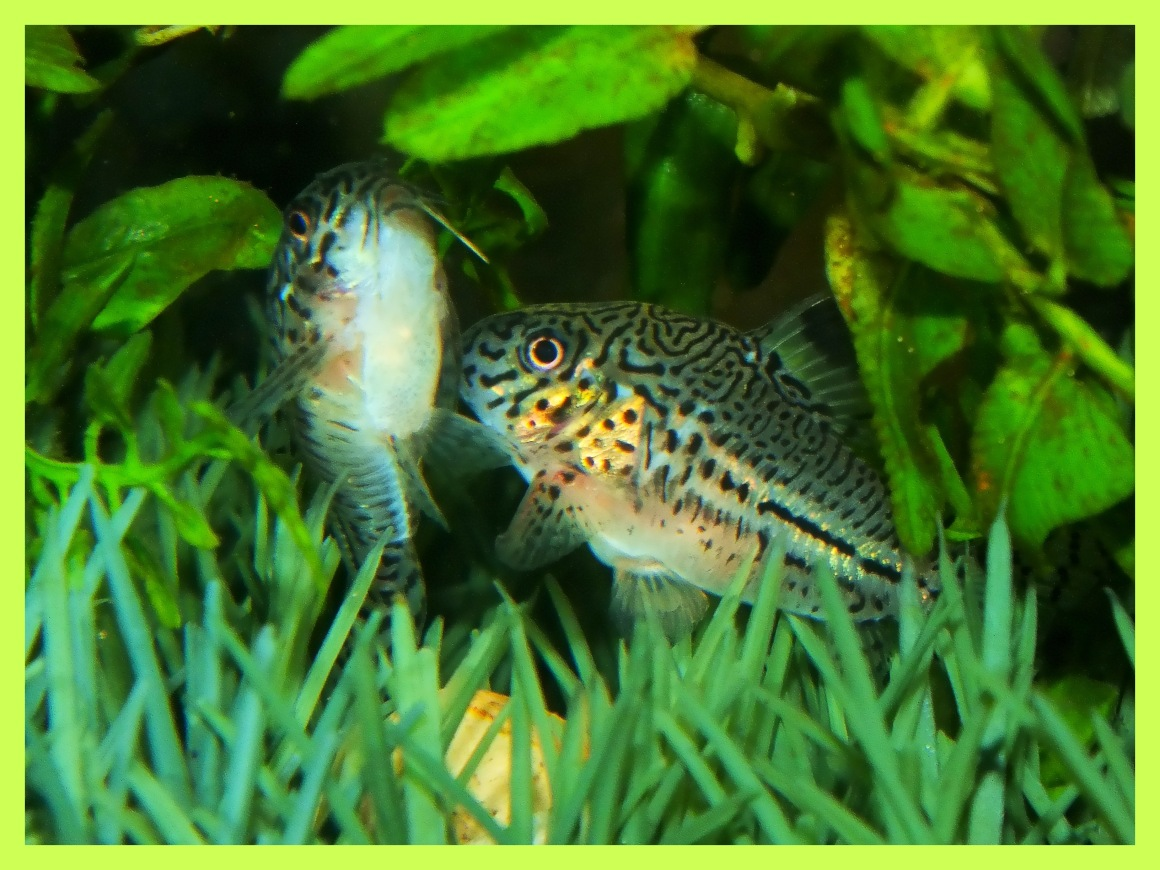 Corydoras trilineatus mating with eggs below clasped in female's bottom fins.  Photo by Thomas Peace c. 2015