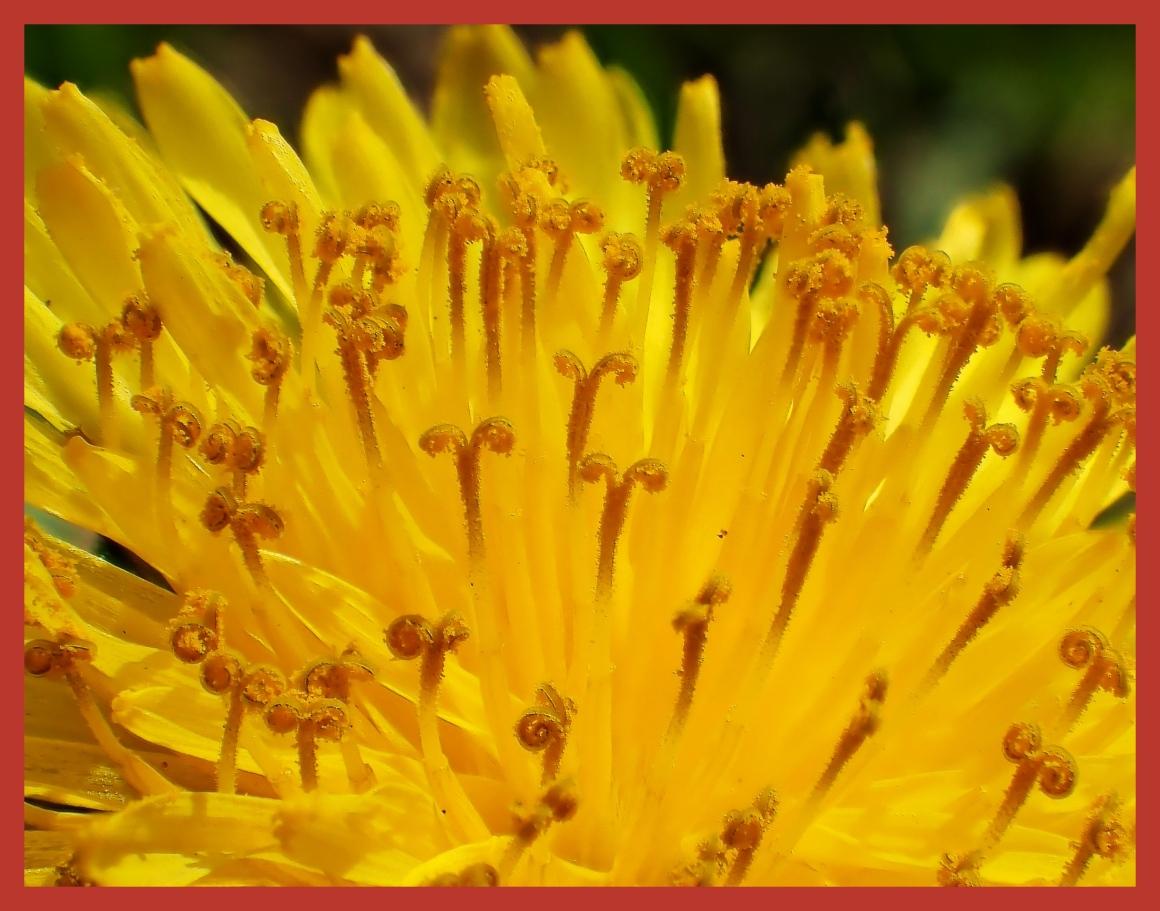 Dandelion Study.  Photo by Thomas Peace c. 2015
