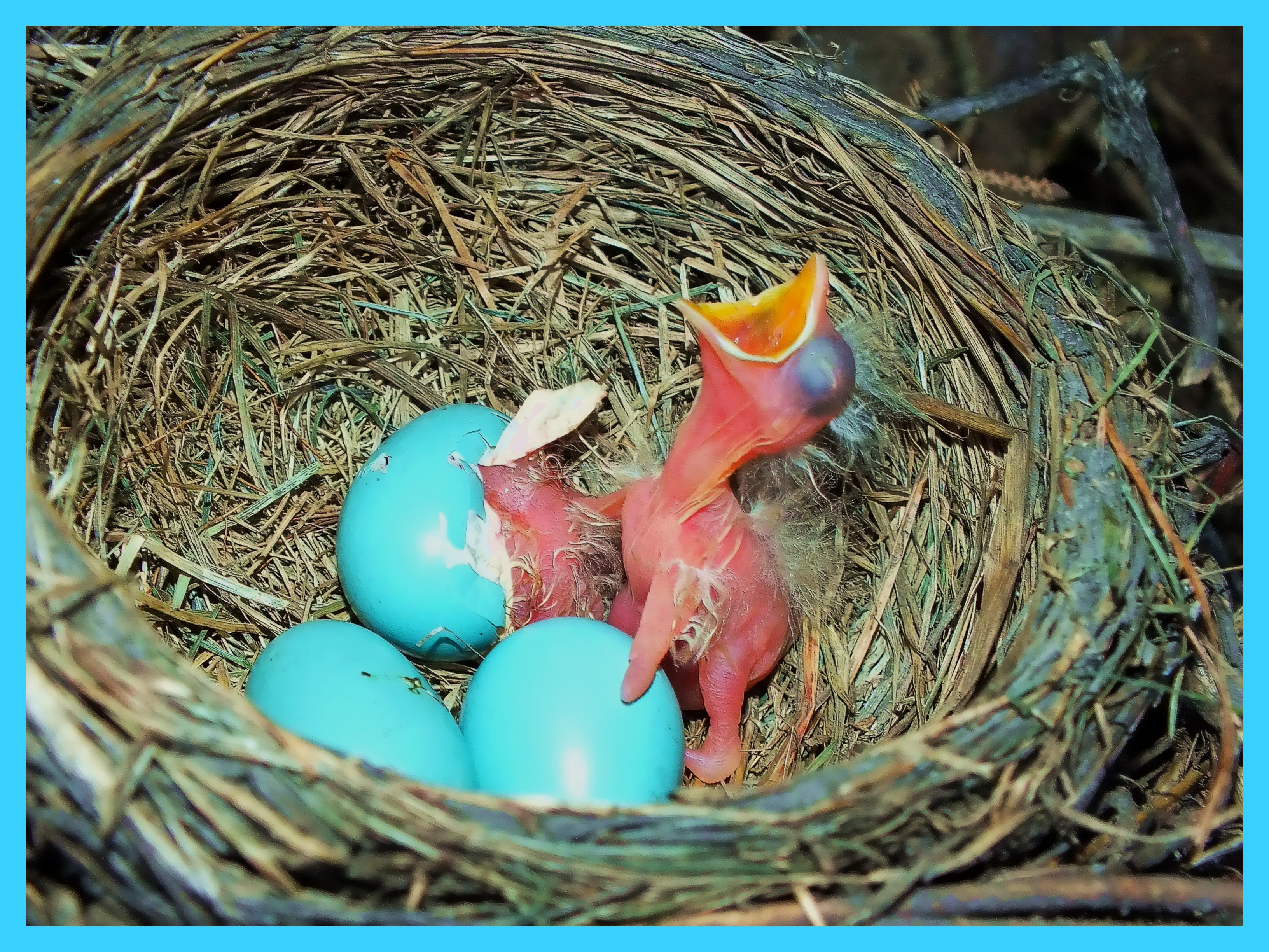 Hatched and Hatching. Photo by Thomas Peace c. 2015