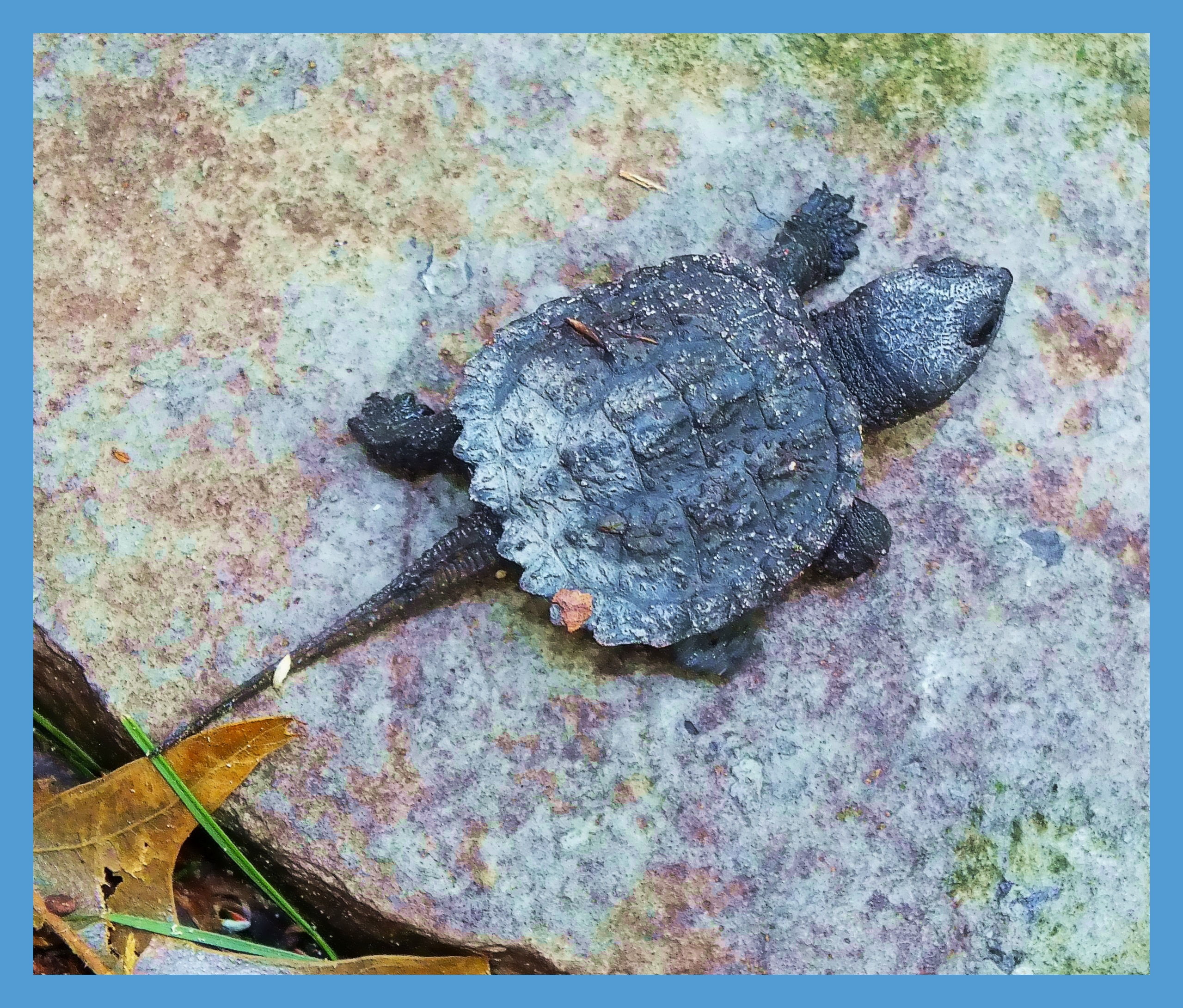Baby Snapping Turtle (2). Photo by Thomas Peace c. 2015