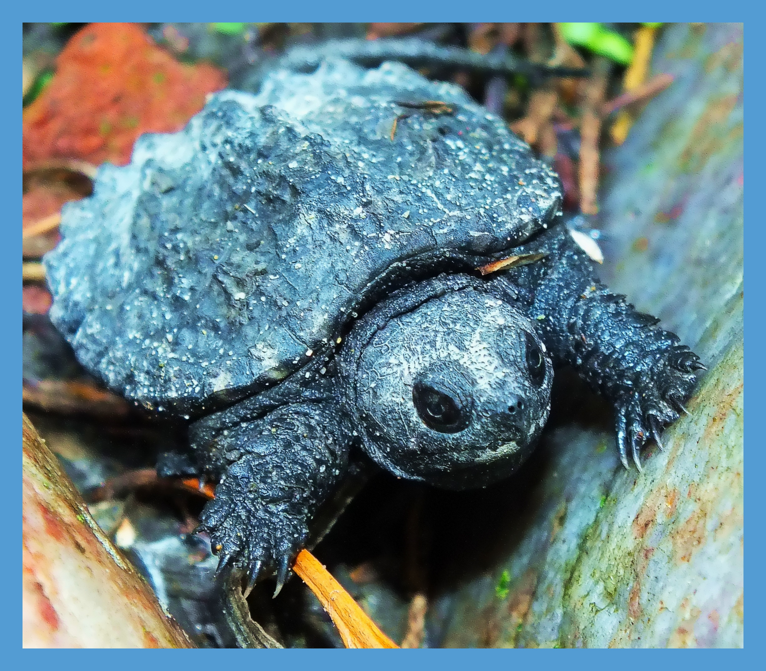 Baby Snapping Turtle (1). Photo by Thomas Peace c. 2015