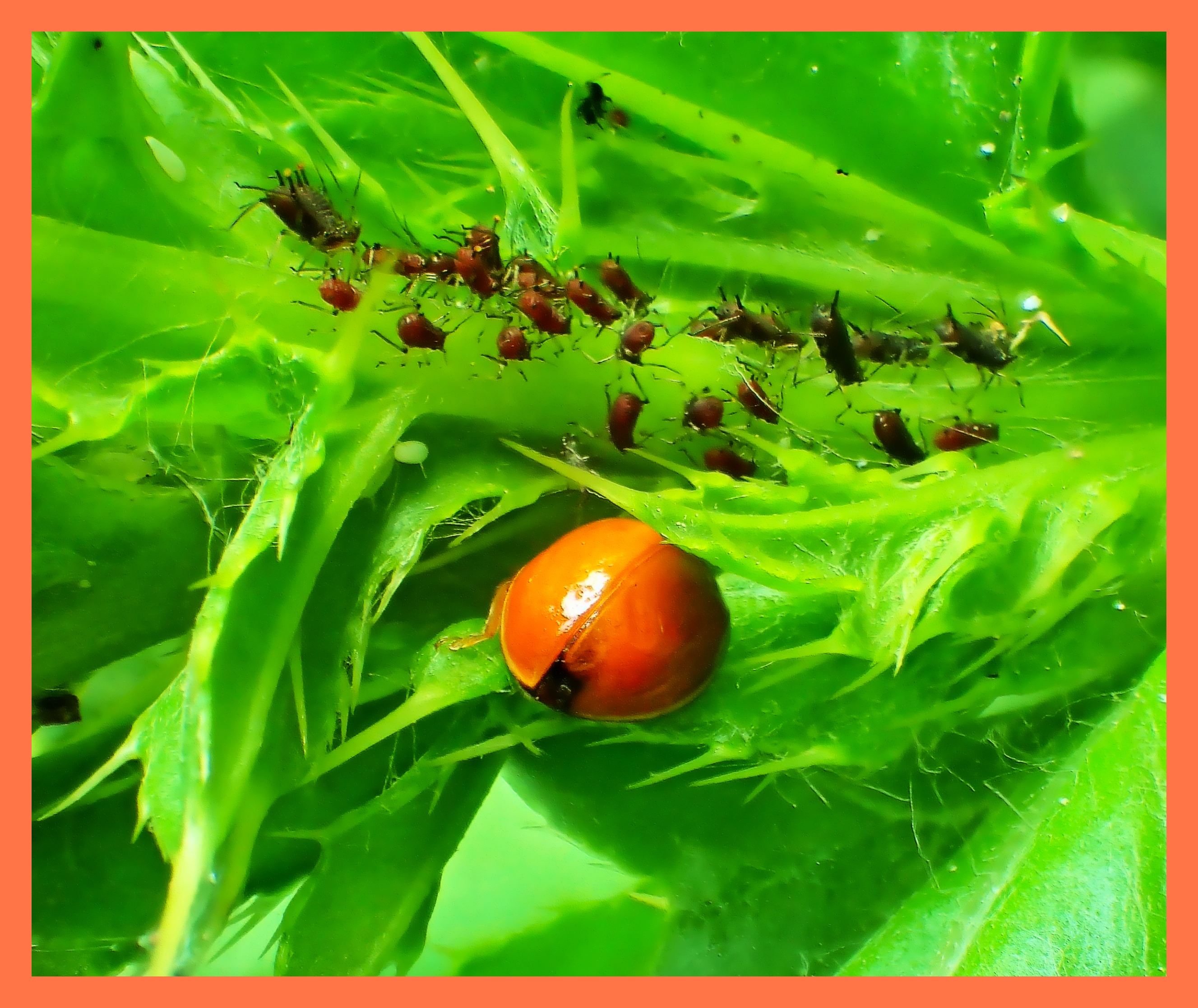 Ladybug and the aphids it eats.  Photo by Thomas Peace c. 2015
