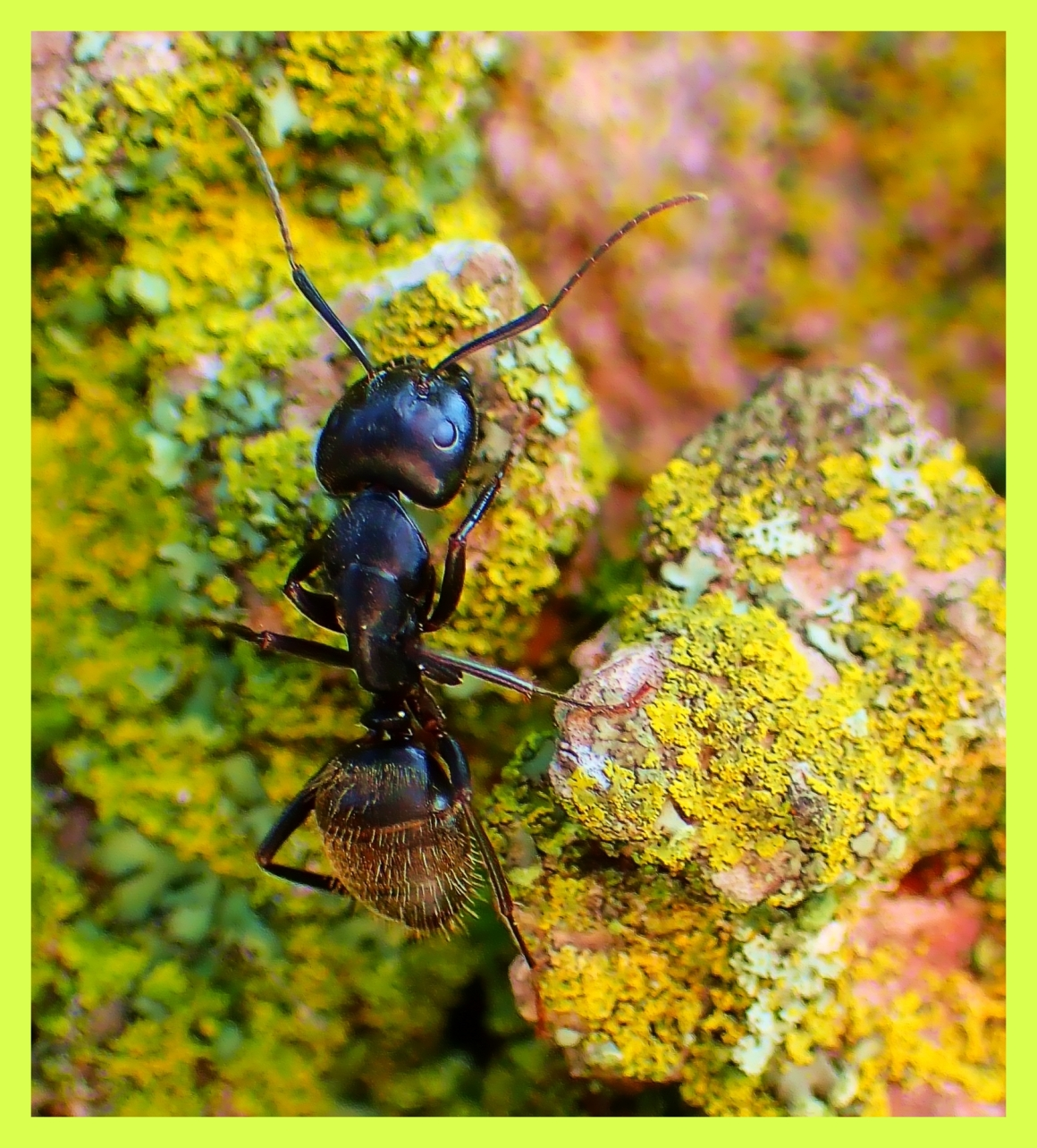 Ant on Lichen. Photo by Thomas Peace c. 2015