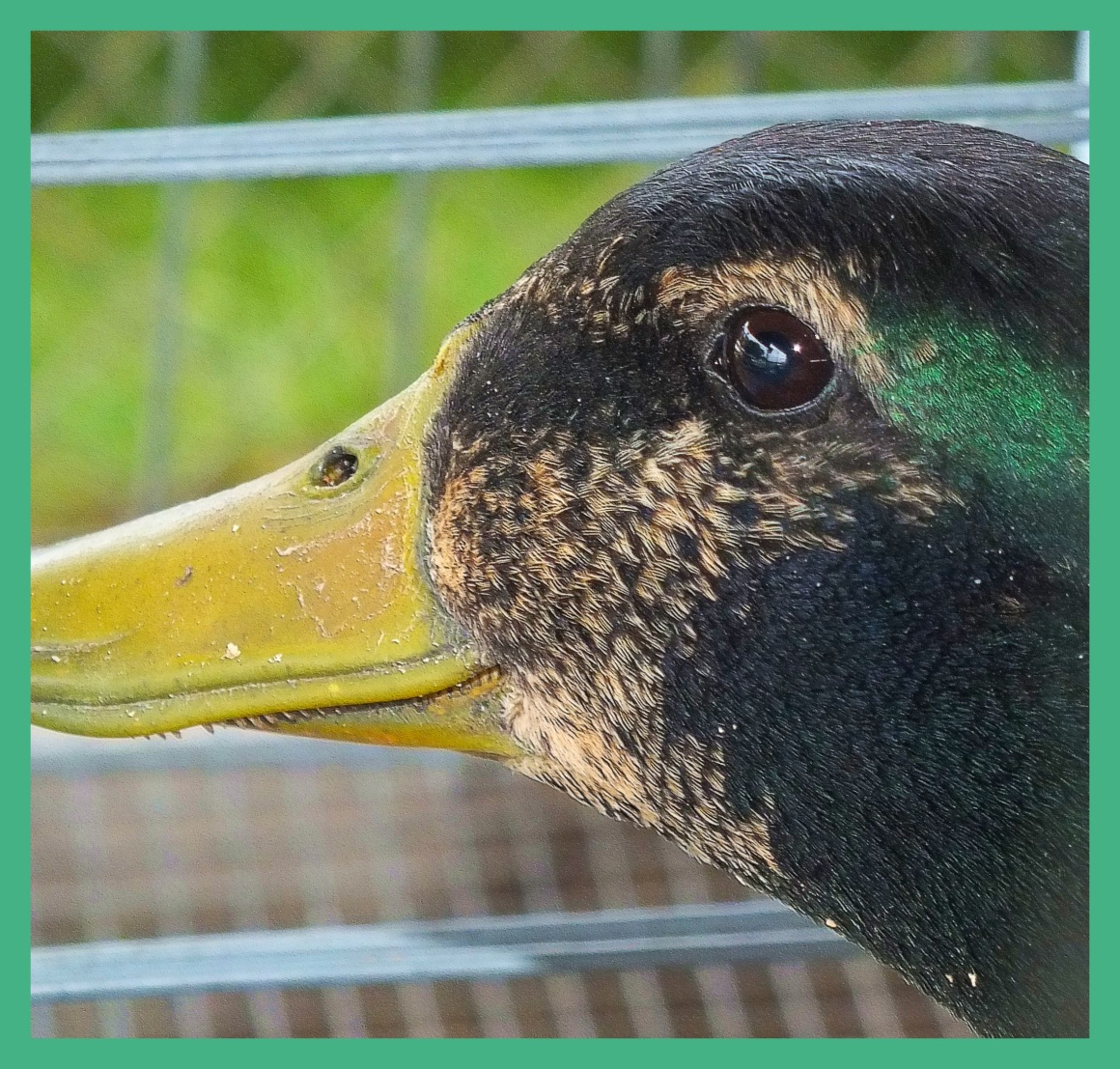 Duck Teeth. Photo by Thomas Peace c. 2015