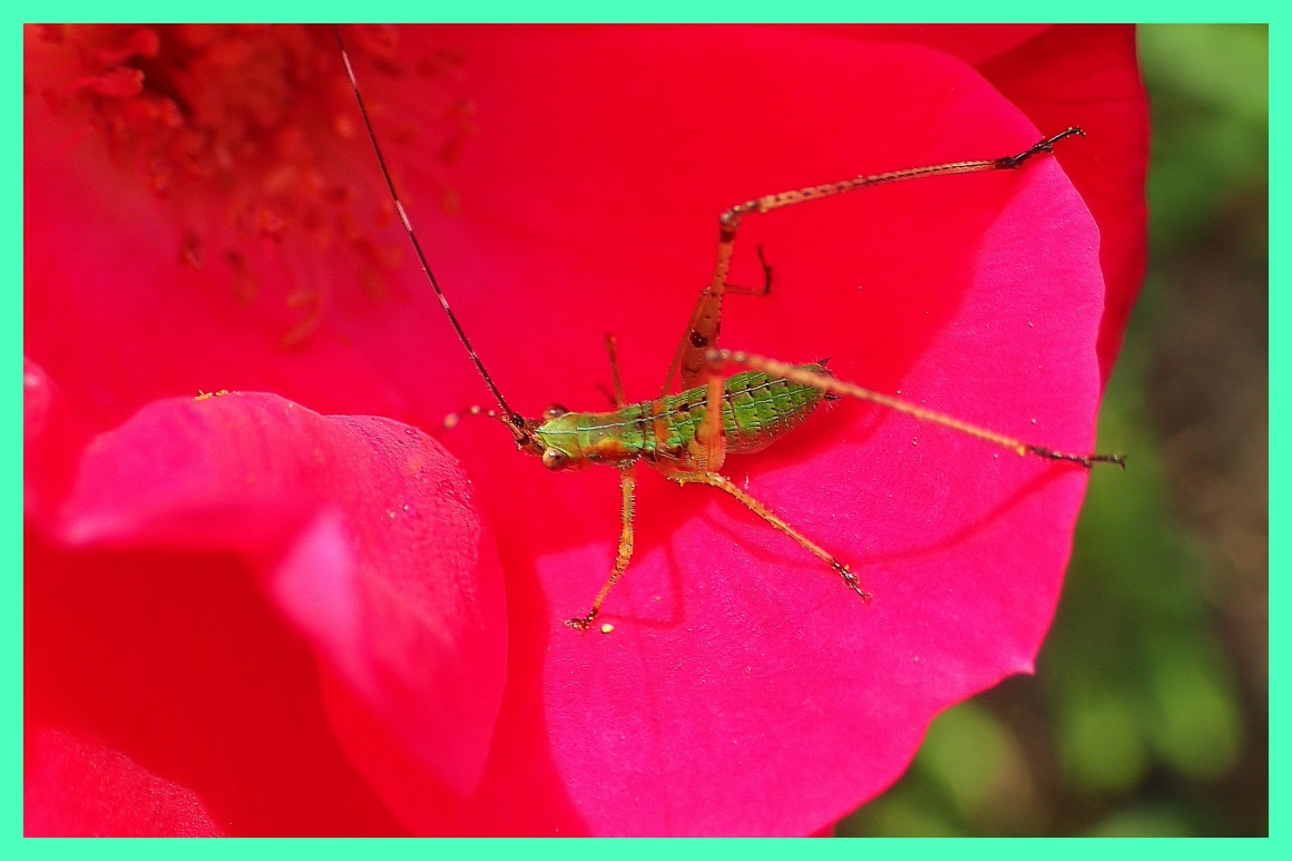 Katydid.  Photo by Thomas Peace c. 2015