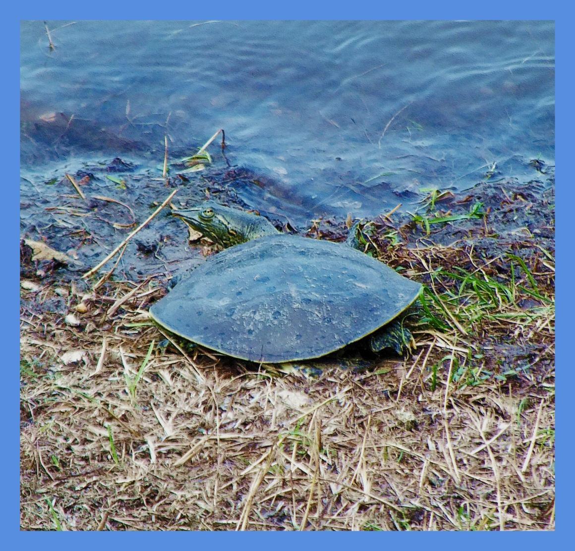 Softshelled Turtle. Photo by Thomas Peace c. 2015