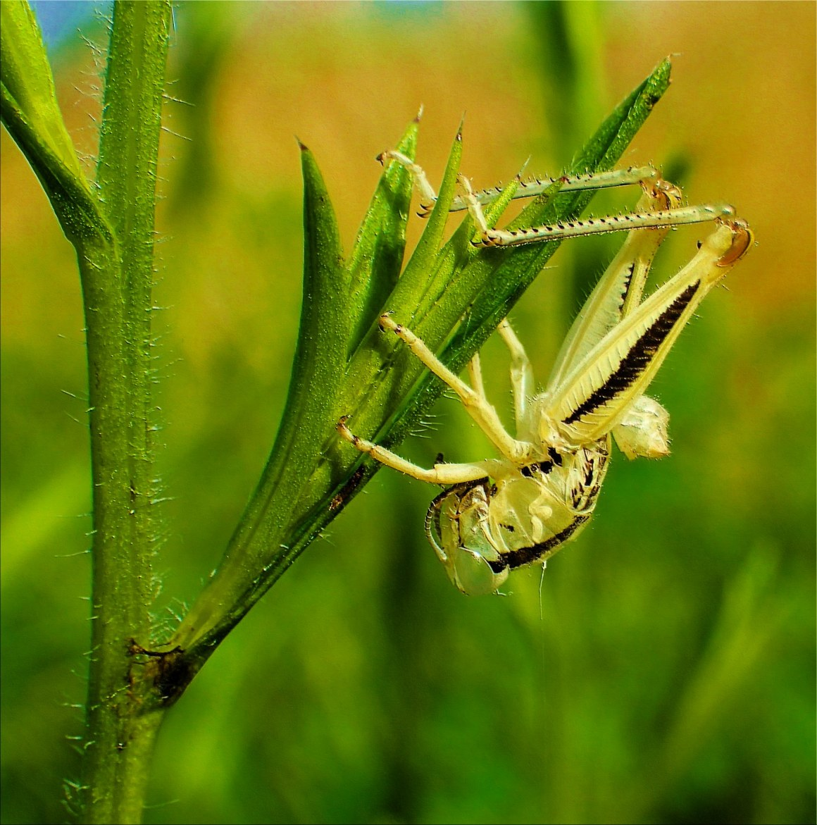 Empty Exoskeleton of a Grasshopper (1) Photo by Thomas Peace c. 2015
