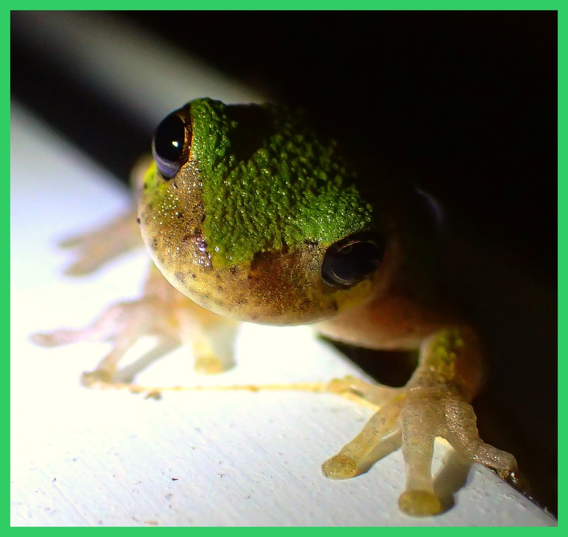 Tree Frog climbing around the porch (1). Photo by Thomas Peace c. 2015