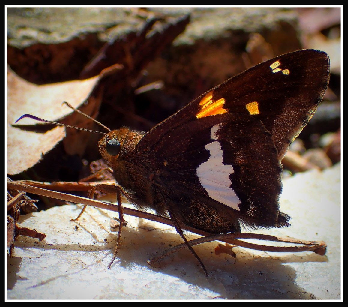 Silver-spotted Skipper (or something beyond a mere label). Photo by Thomas Peace c. 2015