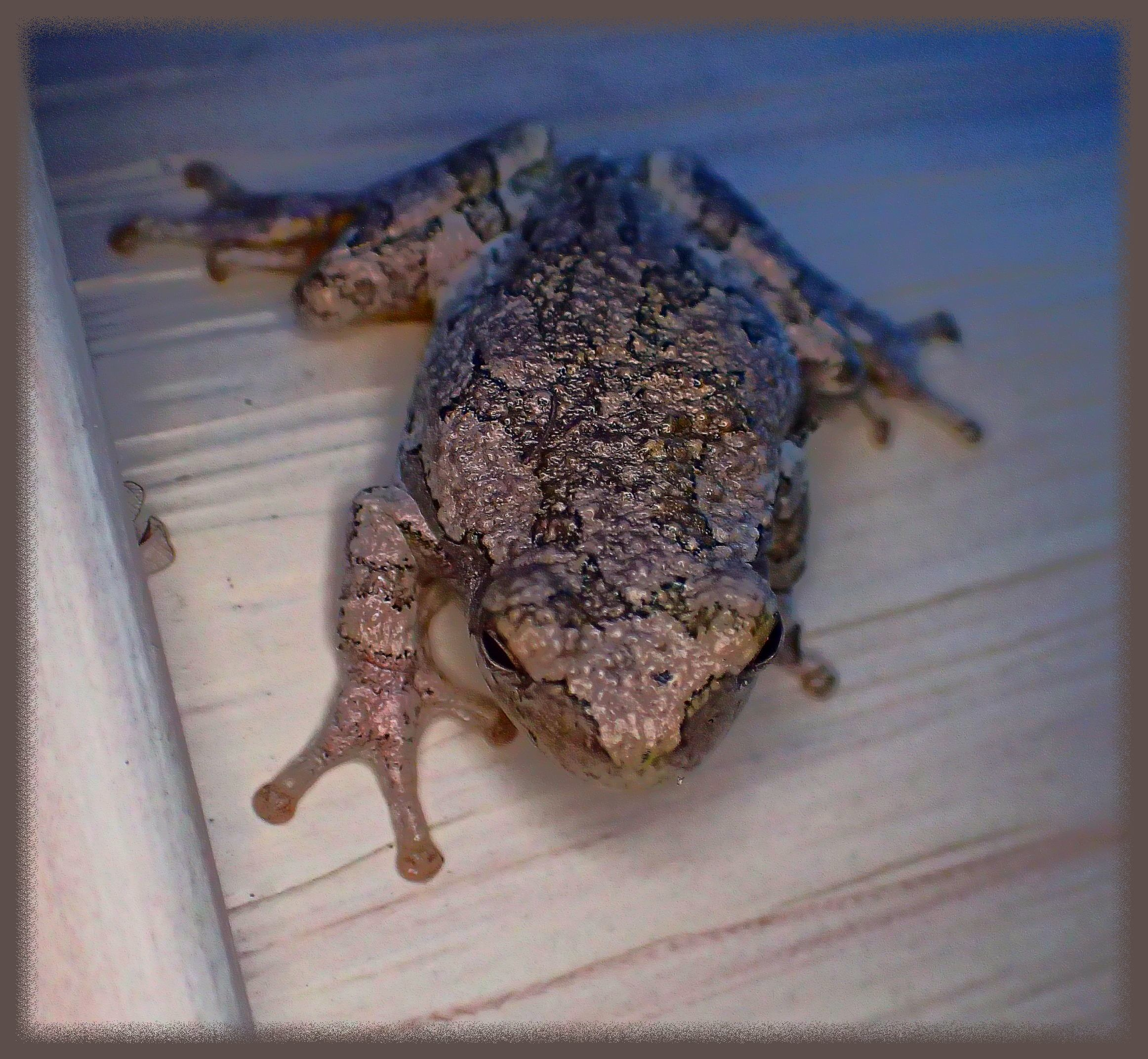 Tree Frog on brownish house siding (blending in quite nicely). Photo by Thomas Peace c. 2015