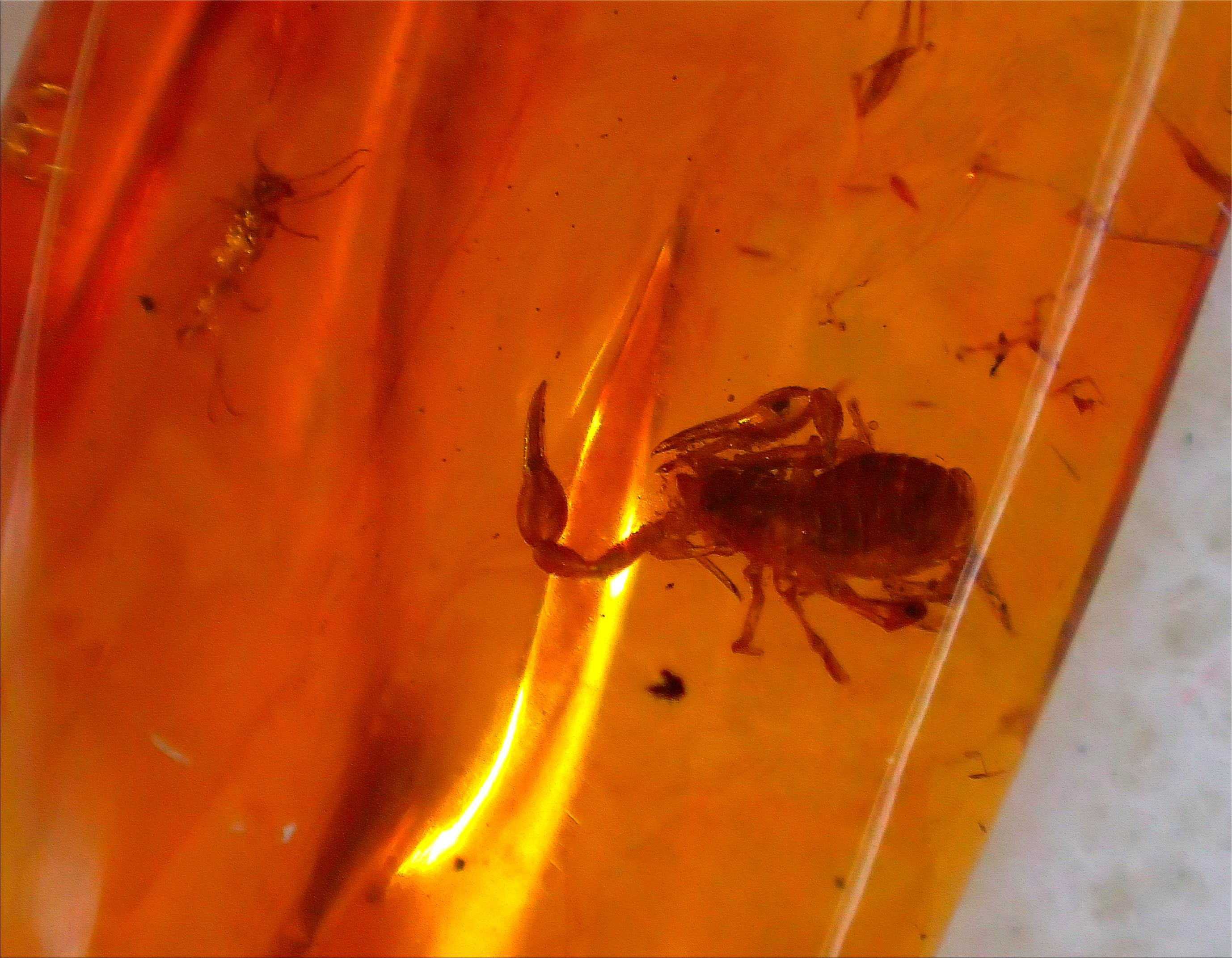 Pseudoscorpion and Gnat in Baltic Amber. Photo by Thomas Peace c. 2015