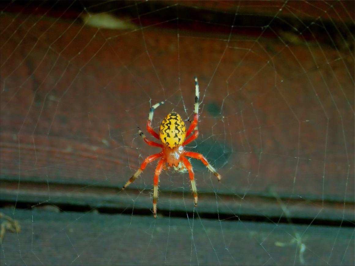 Halloween Arachnid. Photo by Thomas Peace c. 2015