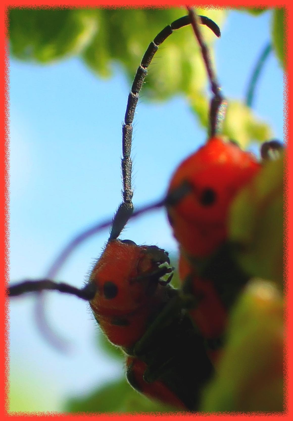 Red Milkweed Borer. (1) Photo by Thomas Peace c. 2016