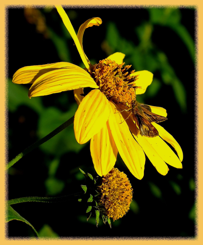 Nectar hunting. Photo by Thomas Peace c. 2016