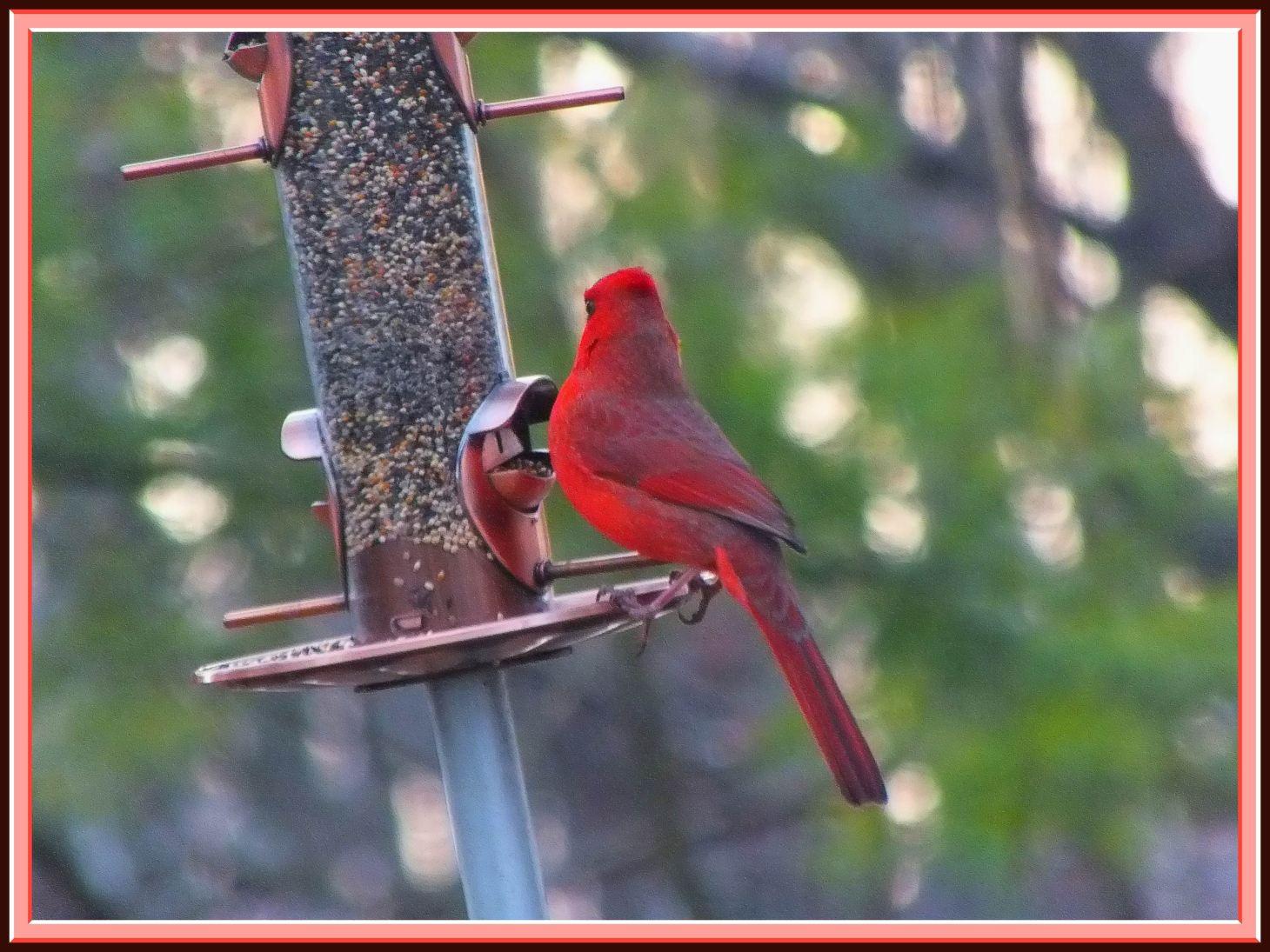 Red Cardinal. Photo by Thomas Peace c. 2016