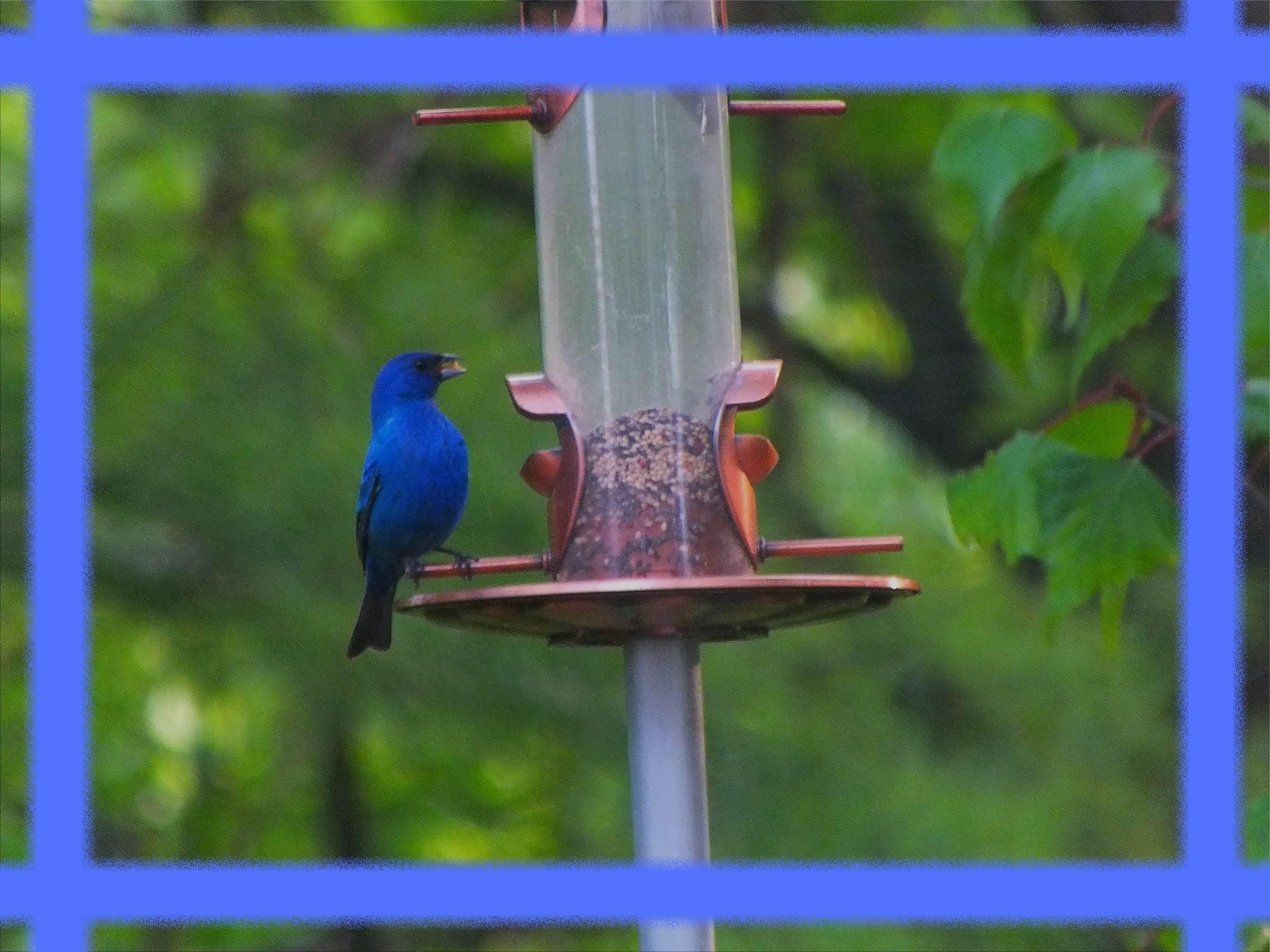 Indigo Bunting. Photo by Thomas Peace c. 2016