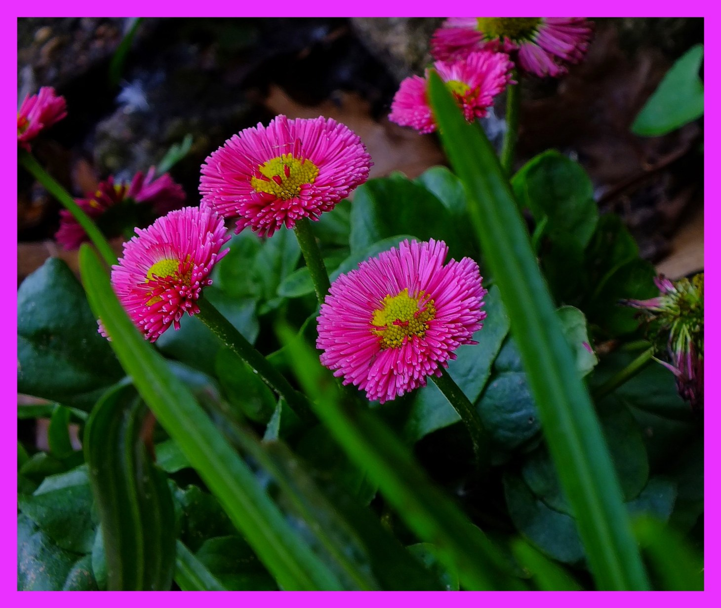 Bellis Perennial. (1) Photo by Thomas Peace c. 2016