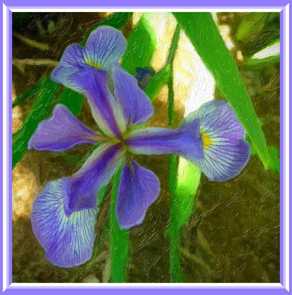 Purple Iris (2).  Photo by Thomas Peace c. 2016