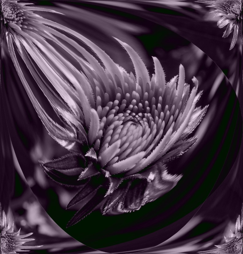 Cone Flower in the process of blossoming (2) Photo by Thomas Peace c. 2016