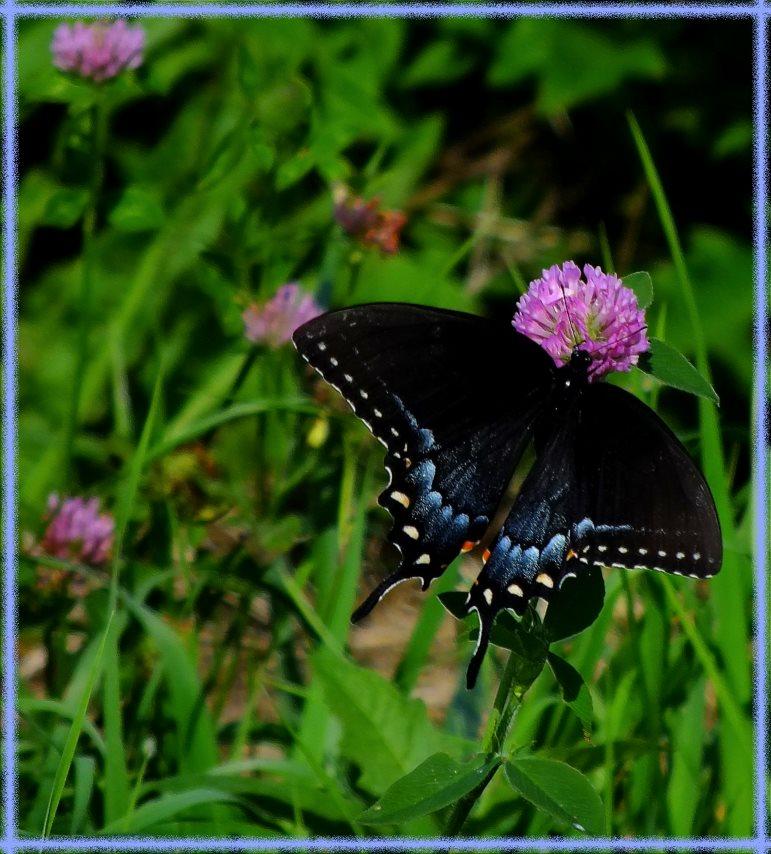 Spicebush Swallowtail (1) Photo by Thomas Peace c. 2016