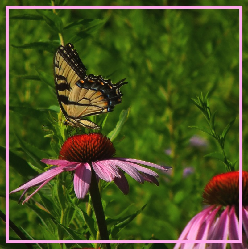 Female Eastern Tiger Swallowtail (1). Photo by Thomas Peace c. 2016