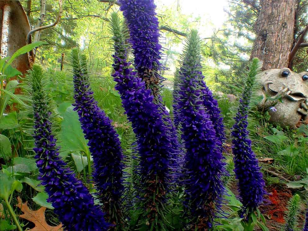 Purple Veronica (1) . Photo by Thomas Peace c. 2016