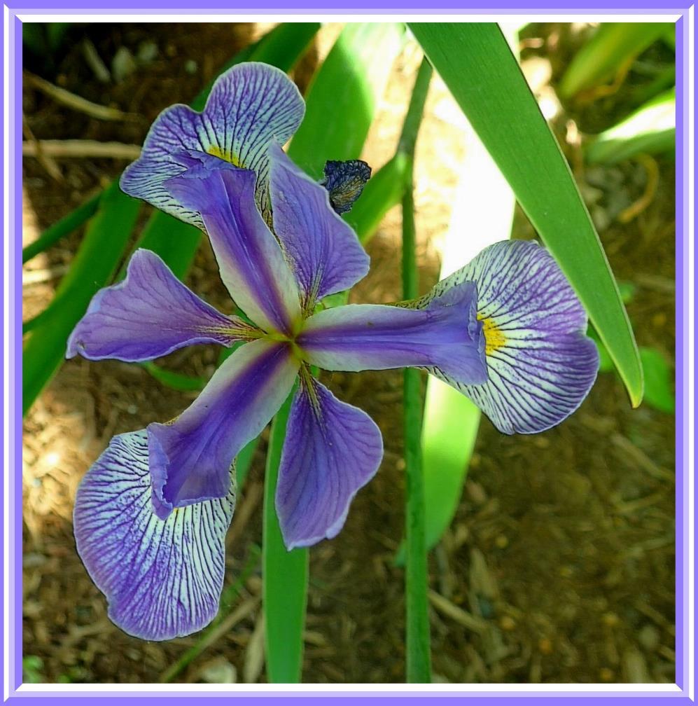 Purple Iris (1).  Photo by Thomas Peace c. 2016