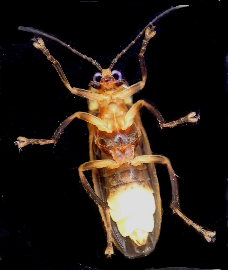 Firefly on window, checking us out! It's that time of year here! Photo by Thomas Peace c. 2016